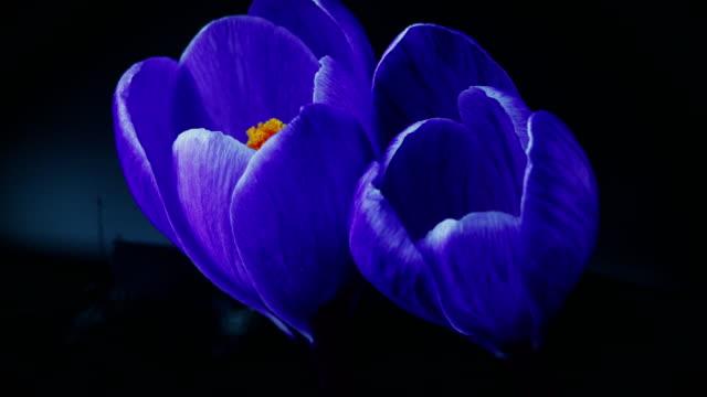 Flowers, purple crocuses bloom