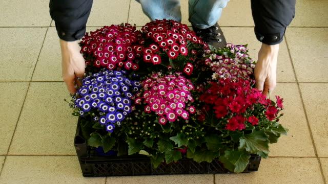Blumen mit Aschenpflanze im Gewächshaus. – Video