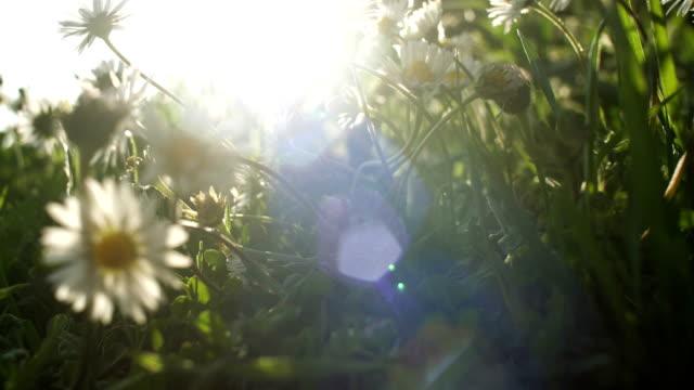 fiore margherita campo natura risveglio in dolce luce del mattino - flora lussureggiante video stock e b–roll