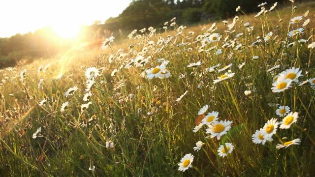 vídeos y material grabado en eventos de stock de flowery daisy campo de primavera de temporada - manzanilla