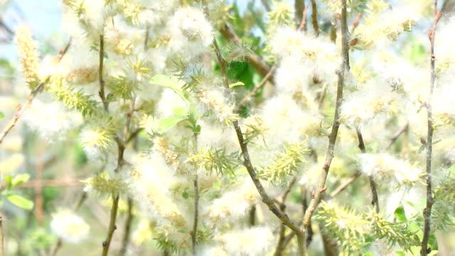 風に柳の芽から綿毛します。 - ふわふわ点の映像素材/bロール
