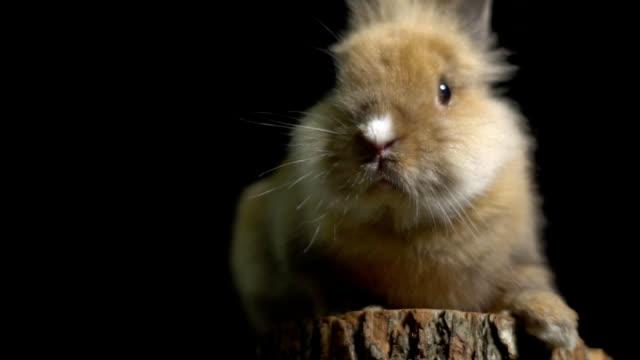 Eine flauschige Häschen mit großen Augen sitzend auf einem Baumstumpf in die Kamera schaut und schnuppert eine rosa Nase – Video
