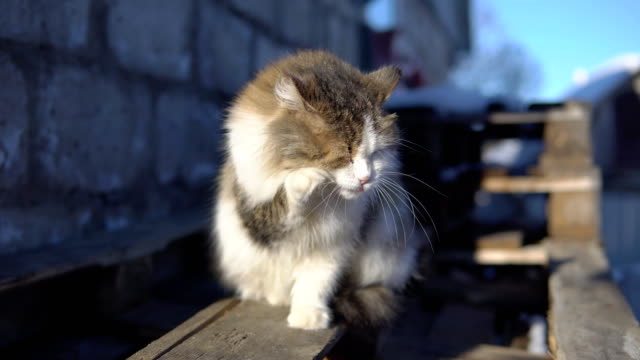 Fluffy cat washing himself in the sun