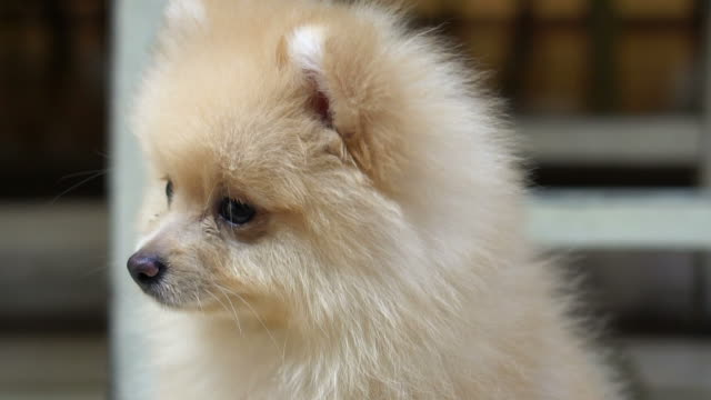 fluffy cute little Pomeranian dog looking confuse outdoor video