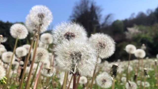 Fluffy Dandelion Seed Heads in a Field in France in Spring
