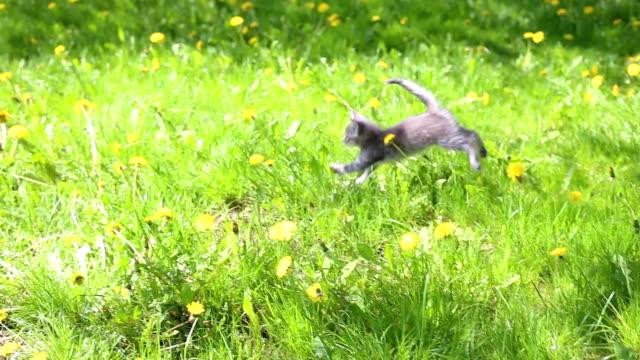ふわふわの灰色キトンの芝生 - 子猫点の映像素材/bロール