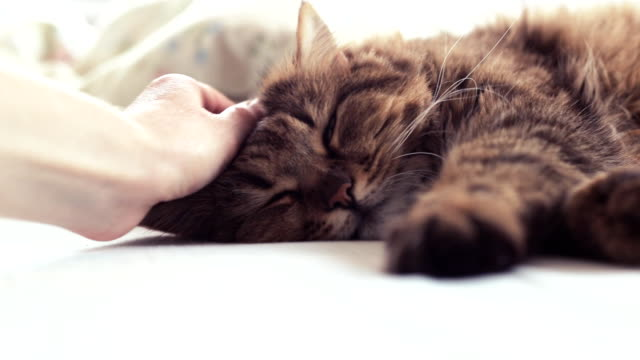 fluffy pet comfortably settled to sleep. woman stroking a cat - comodità video stock e b–roll
