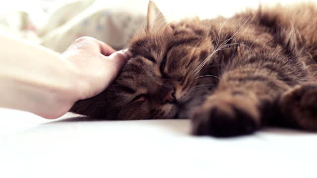 fluffy pet comfortably settled to sleep. woman stroking a cat - уютный стоковые видео и кадры b-roll