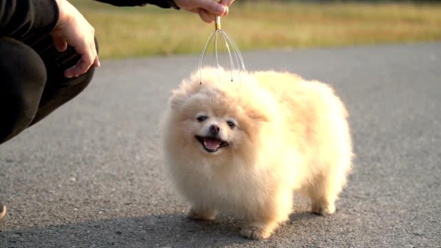 vídeos de stock e filmes b-roll de slo mo - fluffy pomeranian dog enjoying massage - fofo texturizado