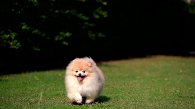 slo - mo fluffy pomeranian dog running with joy - lanuginoso video stock e b–roll