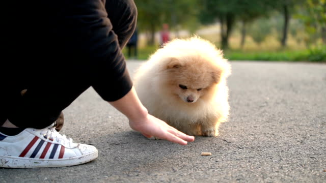 slo mo-fluffy pomeranian dog trick training - mensch isst gras stock-videos und b-roll-filmmaterial