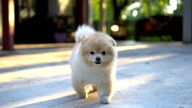 Fluffy Pomeranian Dog Walking to Camera video