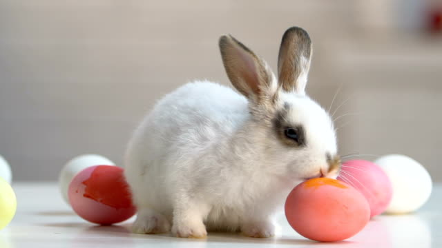 coniglio soffice che corre intorno al tavolo giocando con le uova, simbolo pasquale, tradizioni - easter video stock e b–roll
