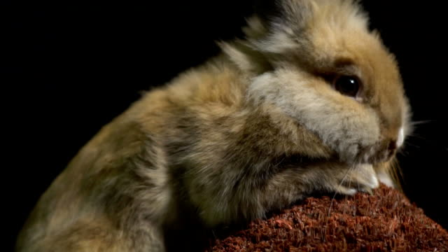 Einen flauschigen Hasen mit großen Augen rührt frightenedly eine Auslauf – Video