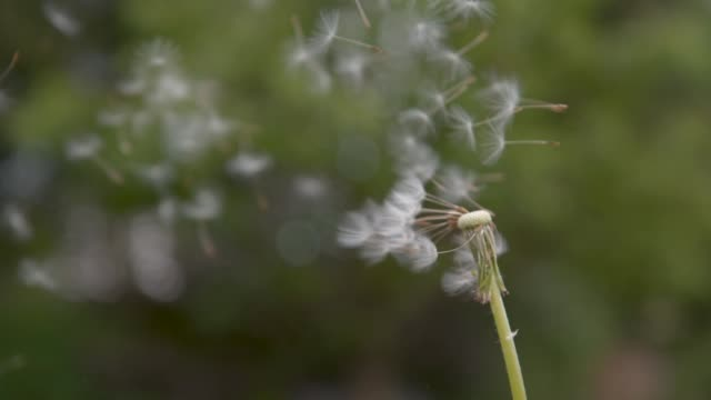 slow motion: fluffy white blowball gets blown away into the green countryside. - pyłek filmów i materiałów b-roll