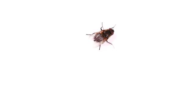 bir sineği uzağa sürünerek, karıncayı beyaz arka plan video üzerinde sürünerek. - sinek stok videoları ve detay görüntü çekimi