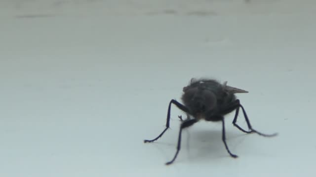 A fly crawling on a white surface