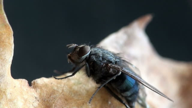Fly housefly insect macro video