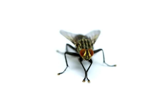 fly isolated on white - sinek stok videoları ve detay görüntü çekimi