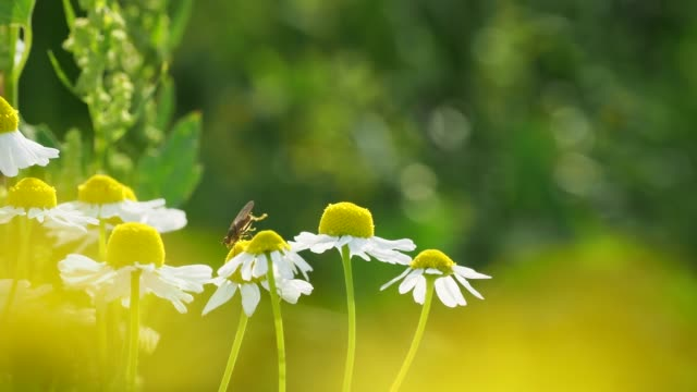 fly makes gymnastics on a chamomile