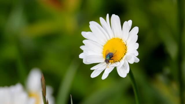 stockvideo's en b-roll-footage met fly on a daisy - arthropod