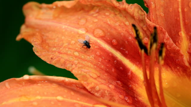 fly on a the day lilly - macro