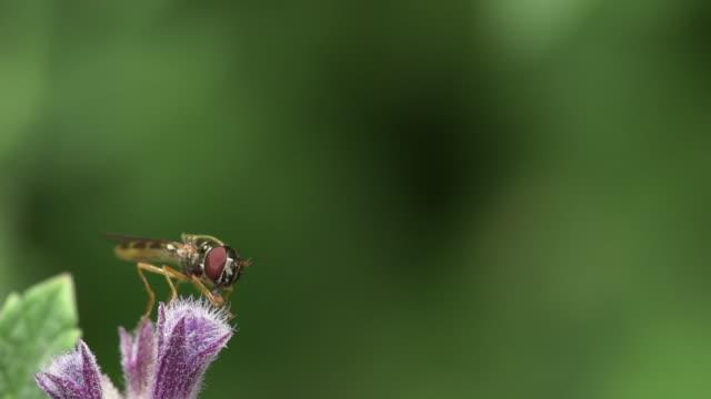 stockvideo's en b-roll-footage met fly on flower - arthropod