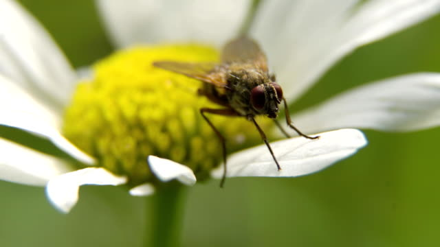 Fly on the flower.Close up video