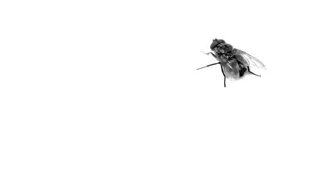 beyaz arka plan video bir sinek. - sinek stok videoları ve detay görüntü çekimi