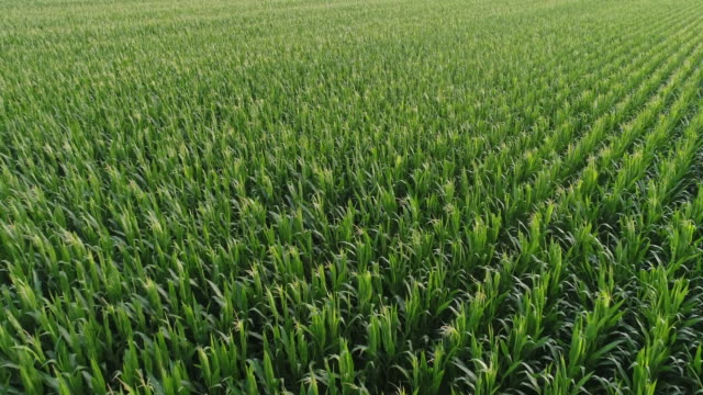 vidéos et rushes de vol au-dessus d'un champ de maïs - maïs culture