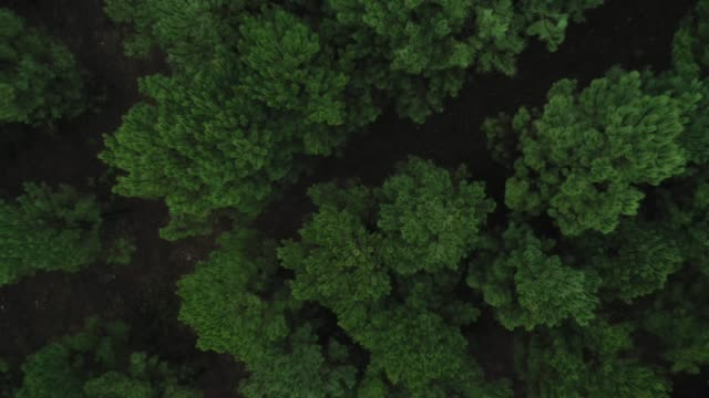 fly over a green pine forest landscape