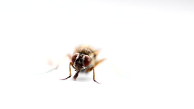 (insetto mosca) - torace animale video stock e b–roll
