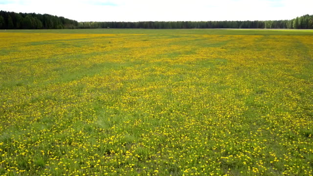 flycam rises over dandelion meadow surrounded by forests