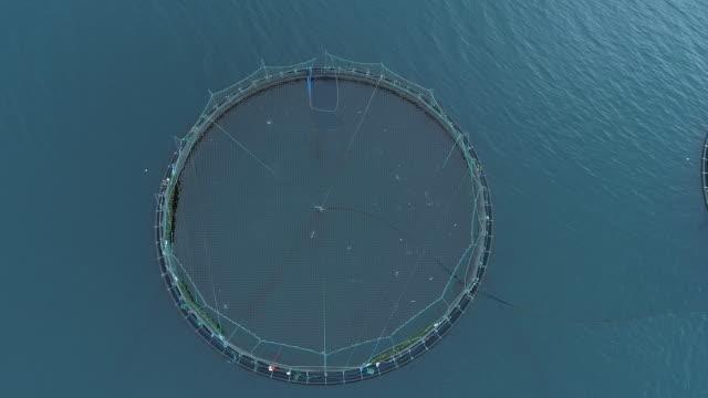 aerial: flying above a large pond full of wild salmon in the middle of the ocean - staw woda stojąca filmów i materiałów b-roll