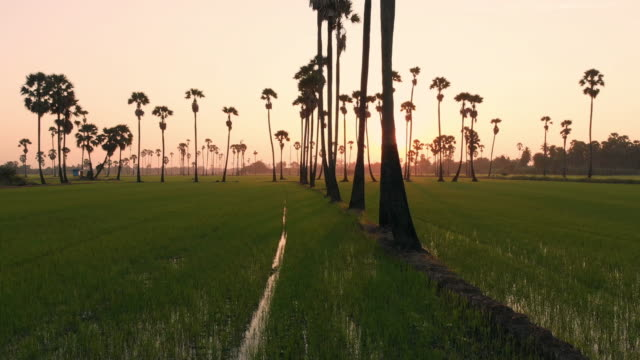 Flying above and Dolly left: Rice field and Palm tree in the sunrise time. Flying above and Dolly left: Rice field and Palm tree in the sunrise time. coconut palm tree stock videos & royalty-free footage