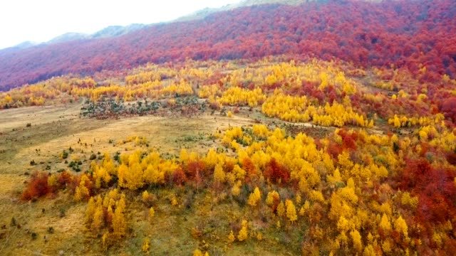Flying above beautiful autumn forest in Carpathian mountains. Yellow birch and red beech trees. Aerial view. video