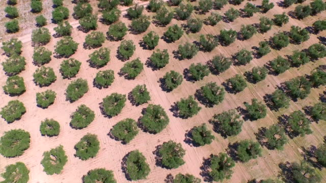 AERIAL: Flying above big olive tree field in sunny summer video