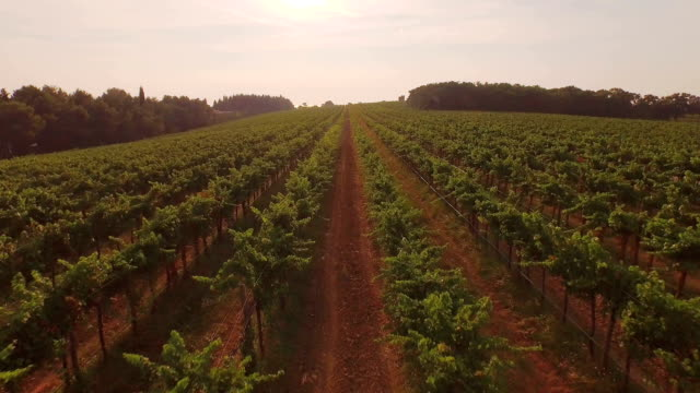 AERIAL: Flying above big vineyard field at beautiful summer sunset video