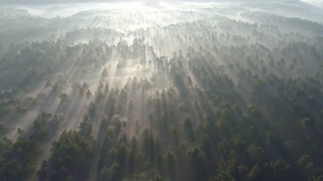 Flying above boundless pine forest covered with mist during sunrise in morning. Sun rays shining through fog. Aerial shot, 4K