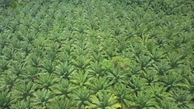 aerial: flying above densely planted palm trees near palm oil ranch in thailand. - piantagione video stock e b–roll