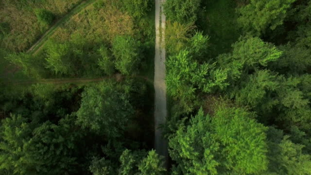 AERIAL: Flying above empty forest dirt road with tall spruce trees growing on both sides in lush nature on a sunny summer day video