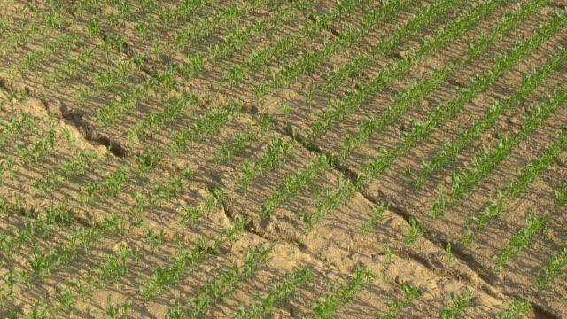 vídeos de stock, filmes e b-roll de vôo aéreo acima do campo do milho que cresce no solo seco após um período de seca - erodido