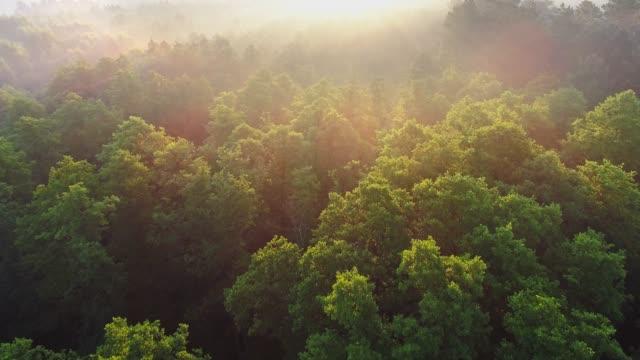 vídeos de stock, filmes e b-roll de voando sobre a floresta verde durante o nascer do sol e neblina. raios solares brilhando por toda parte. fabuloso fundo floral da natureza. tiro aéreo, uhd - floresta
