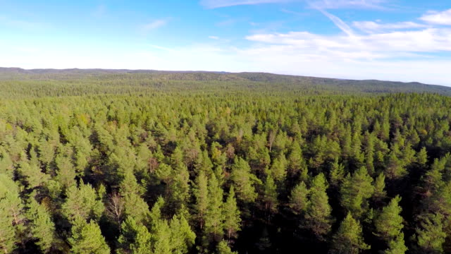 Flying above large spruce tree forest video