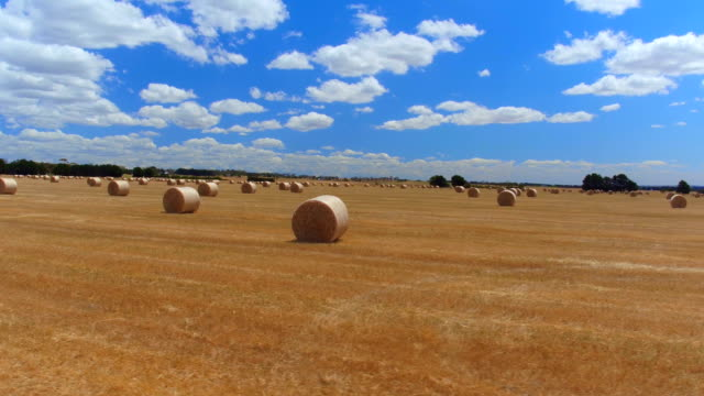 AERIAL CLOSE UP: Flying above picturesque straight golden field of bales of hay video