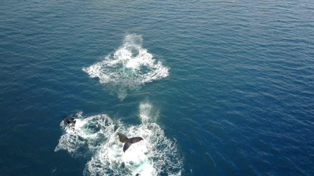 vidéos et rushes de voler au-dessus de pod de baleines contrevenir au large de la côte de l'île de maui - baleine