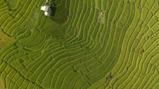 flying above rice terrace pattern - pole ryżowe filmów i materiałów b-roll