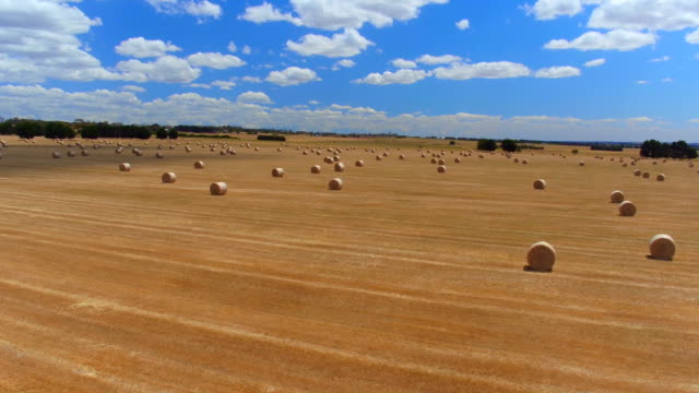 AERIAL: Flying above stunning straight golden field of bales of hay on sunny day video