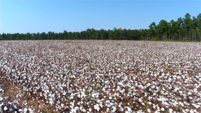 antenn: flyga ovanför rader av vackra vita bomullsfält boll - cotton growing bildbanksvideor och videomaterial från bakom kulisserna
