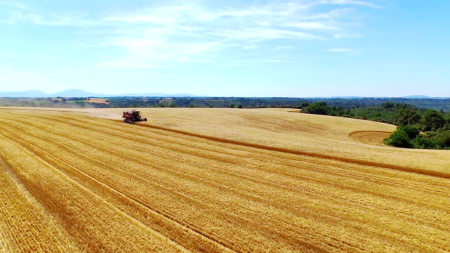 AERIAL: Flying around harvester cutting crop on gold yellow wheat field in sunny summer